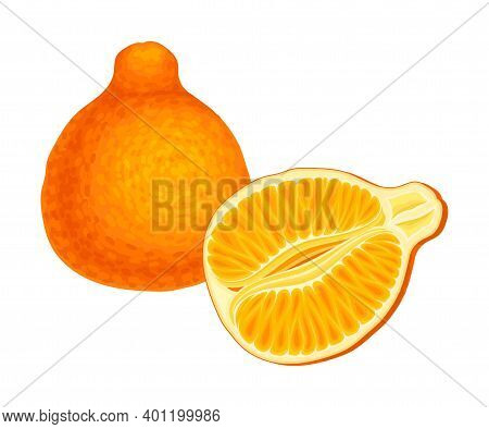 Tangelo As Hybrid Citrus Fruit With Tart And Tangy Taste Vector Illustration