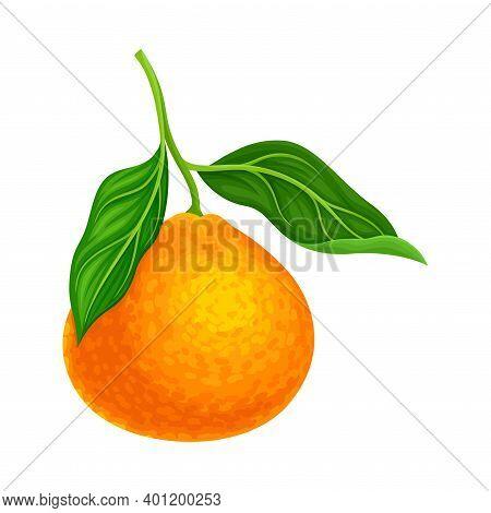 Mandarin Or Tangerine With Green Leaves As Citrus Fruit Vector Illustration