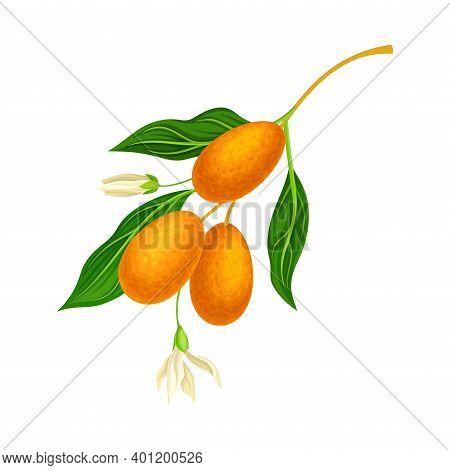Oval Kumquat Or Cumquat As Edible Citrus Fruit Hanging On Tree Branch Vector Illustration