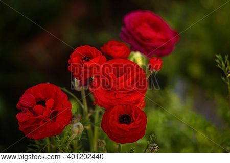 Ranunculus Red Bouquet Of Flowers On A Bright Green Background With Bokeh. Fresh Red Ranunculus With