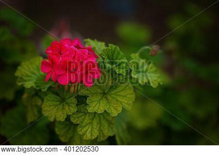 Red Pelargonium In The Garden. Red Geranium Flowers In Summer Garden In Cyprus. Bright Pelargonium