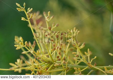 Avocado Flowers Persea Americana Blooming, Close View, First Avocado Fruits On A Branch. Flowering S
