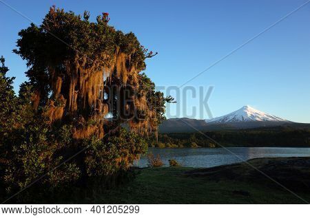 Nature of Chile. Spanish moss hanging from tree, Snowy cone of Villarrica volcano and lake Villarrica in evening light, blue sky, Green environment, Pucon