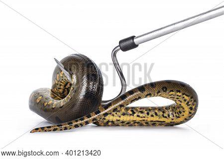 Handling A Young Green Anaconda Aka Eunectus Murinus Snake. Isolated On White Background.