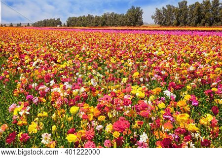 The field of luxurious spring buttercups. Israel. Beautiful sunny spring day. The southern border of Israel, a kibbutz field. Ecological, botanical and photo tourism concept