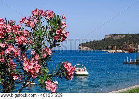 Pink Flowers Of Oleander Near The Mediterranean Sea. Natural Landscape Summer Background. Nerium Ole