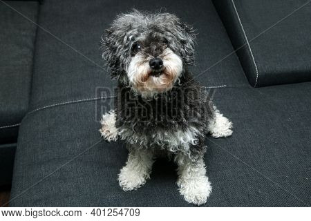 The Portrait Picture Of The Cute Curly Dog. It Is A Cross Breed Of Poodle And Shi Tzu.