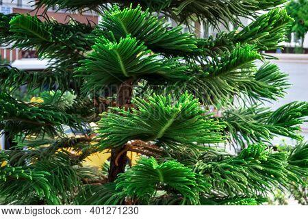 Decorative Leaves Of Tropical Exotic Coniferous Araucaria Heterophylla Tree, Close-up. Natural Plant