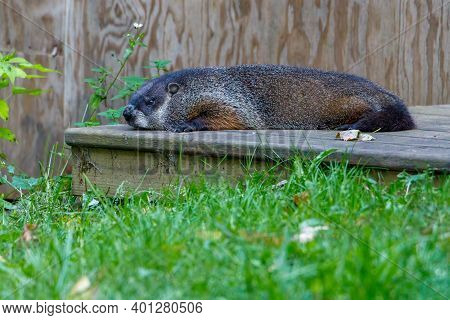 Groundhog (marmota Monax), Also Known As A Woodchuck, Laying On A Deck During Summer. Selective Focu