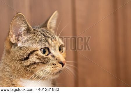 The Head Of The Cat In A Close-up You Can See Large Eyes And Protruding Pointed Ears. Long White Cat