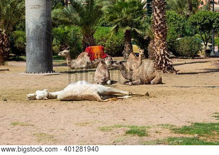 Dromedaries Rest In The Shadow While Waiting For Tourists In Marrakech, Morocco.