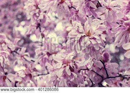 Vintage Pink Magnolia Flowers. Beautiful Spring Blossom Background.