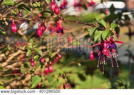 Beautiful Pink Fuchsia Magellanica Riccartonii Autumnal Bell-shaped Flowers On Blurry Green Backgrou