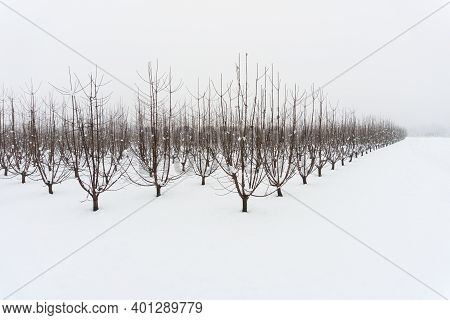 Snowy Orchard On A Winter Afternoon, Bare Fruit Trees In A Snow Covered Meadow