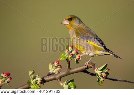 European Greenfinch Sitting On Red Blooming Twig Of A Tree In Springtime
