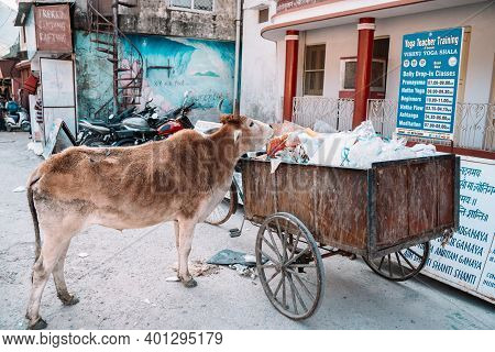 Rishikesh, India - Feburay 22, 2020: Hungry Cow Rummages Through A Trash Dumpster Looking For Food
