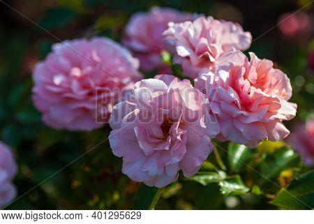 Light Pink Floribunda Rose Blooming. Rosa Botticelli Introduced In France By Meilland