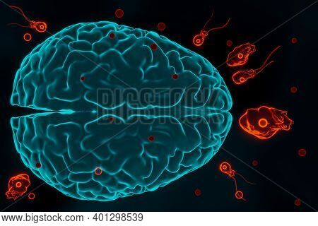 Brain-eating Amoeba Infection, Naegleriasis. Flagellate Forms, Trophozites And Cysts Of The Parasite