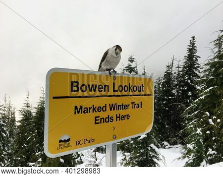 Bowen Lookout, Cypress Mountain, Vancouver, Canada - December 17th, 2020: A Whiskeyjack Bird Perched