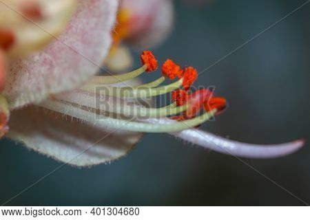 Close up shot of red chestnut flower with selective focus