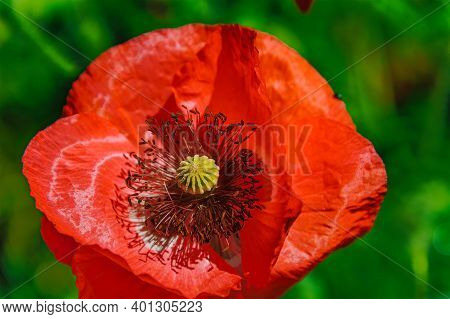 Red Icelandic Paper Poppy Flower In Grassland With Shallow Depth Of Field Background.