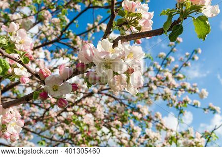 White Blossoming Branches Of An Apple Tree In Spring Against The Blue Sky. A Lush Blooming Apple Tre
