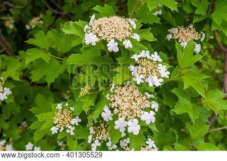 Viburnum Opulus, Guelder-rose Or Guelder Rose. Unusual Bloom. Lush Blooming Viburnum. White Inflores