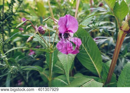 Bumblebee's Cute Butt In A Flower. Honey Bee. Insect Pollinates A Flower. Stock Photography Selectiv