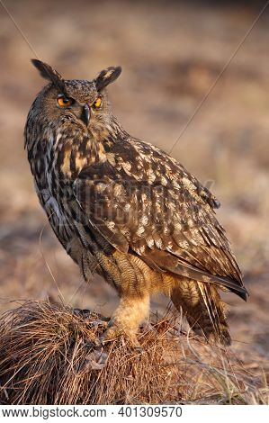 The Eurasian Eagle-owl (bubo Bubo) Sitting On The Grass Hill In The Evening Light