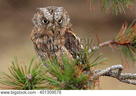 The Eurasian Scops Owl (otus Scops) Or The European Scops Owl Or Just Scops Owl Sitting On A Branch