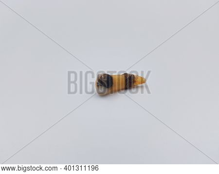 Extracted Rotten Tooth From Old Person On White Background