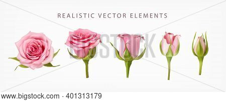 Realistic Vector Elements Set Of Pink Roses. Pink Bud Of Rose Flower And An Open Flower Isolated On