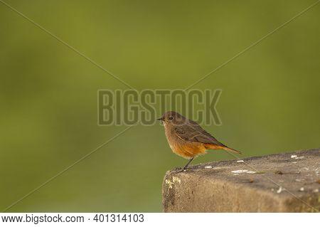 Black Redstart Or Phoenicurus Ochruros Small Bird Portrait With Natural Green Background During Wint