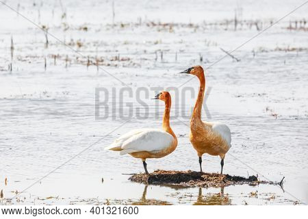 Close up shot of two Swans in the marsh lands