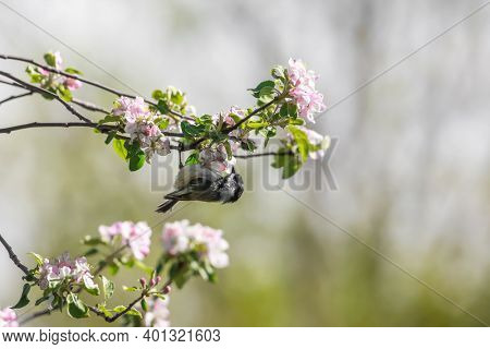 Chickadee bird on the branch of tree with bloom
