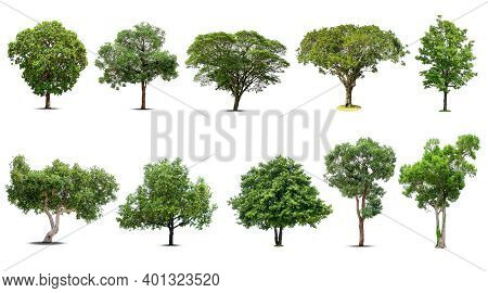 Tree Collection, Beautiful Large, Tropical Tree Suitable For Use In Design, Isolated On A White Back