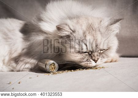 Cute Grey Fluffy Cat Sniffing And Enjoying Catnip