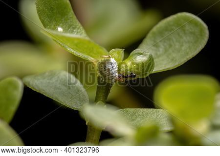 Mealybug Of The Family Pseudococcidae With A Ant In A Common Purslane Plant Of The Species Portulaca