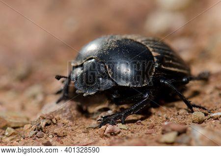 Earth-boring Dung Beetle Scarabaeus Laticollis. Monfrague National Park. Caceres. Extremadura. Spain