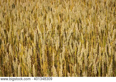 Close-up Of A Field Of Wheat Ripening In Golden Color, Natural Background. Harvest Concept. Wheat Fi