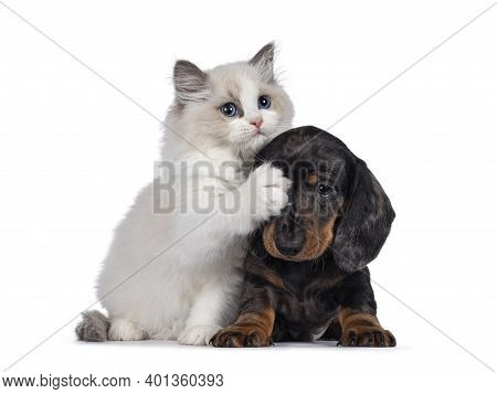 Cute Ragdoll Cat Kitten And Dachshund Aka Teckel Dog Pup, Playing Together Facing Front. Looking Tow
