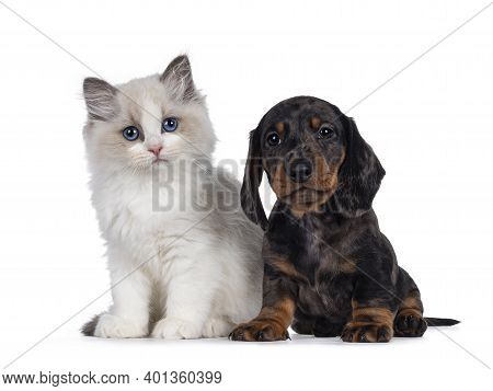 Cute Ragdoll Cat Kitten And Dachshund Aka Teckel Dog Pup, Sitting Together Facing Front. Looking Tow