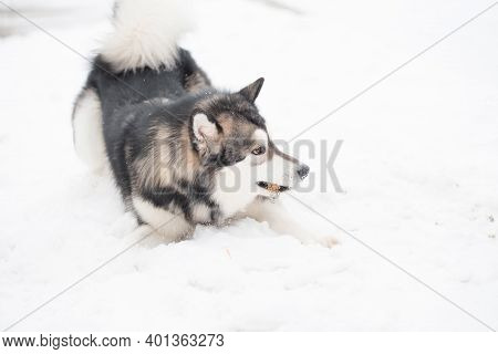 Young Alaskan Malamute Playing In Snow. Dog Winter.
