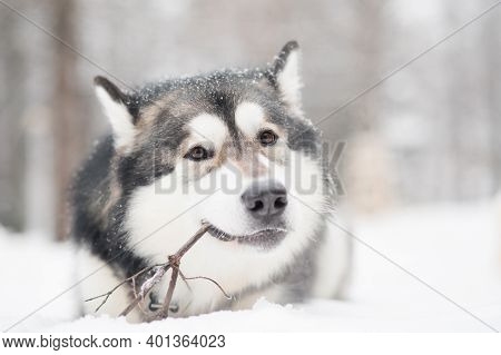 Young Alaskan Malamute Lying And Playing With Stick In Snow. Dog Winter.