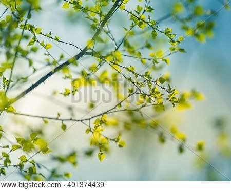 Beautiful Young Birch Tree Leaves In The Spring. Fresh, Green Leaves In The Forest Of Northern Europ