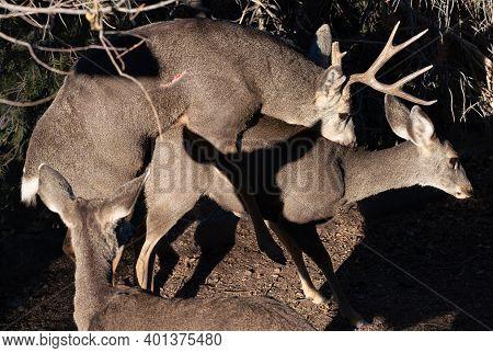 Mule Deer Mating During the Rutting Season