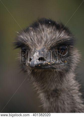 Headshot Portrait Of Flightless Bird Emu Dromaius Novaehollandiae Face Eyes Beak Nostrils Feathers C