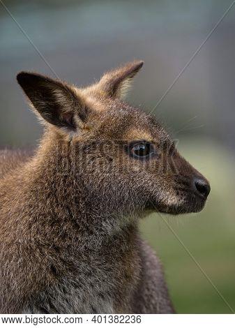 Side Headshot Portrait Of Female Red-necked Wallaby Macropus Rufogriseus In Bleichnau Baden-wuerttem