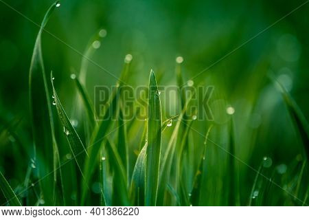 Wet Grass In The Spring. Rural Sceney Of A Green Field. Water Droplets On The Grass Spikes. Closeup