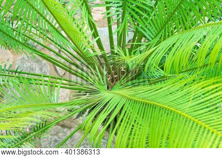 Selective Focus Close Up View Of Beautiful Green Palm Leaf On Natural Background.